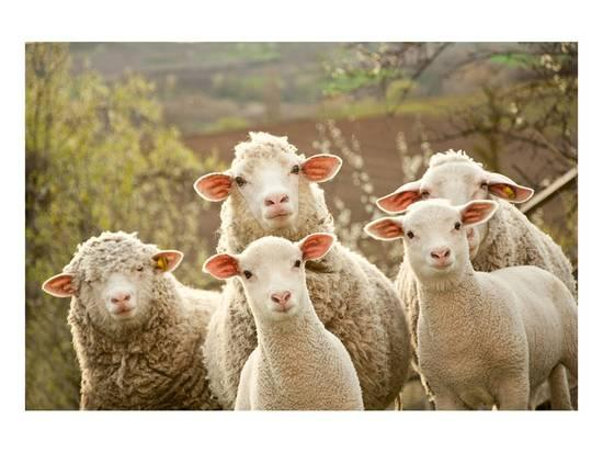 curious-flock-of-sheep_a-l-13853283-0